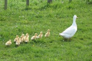 duck-and-ducklings